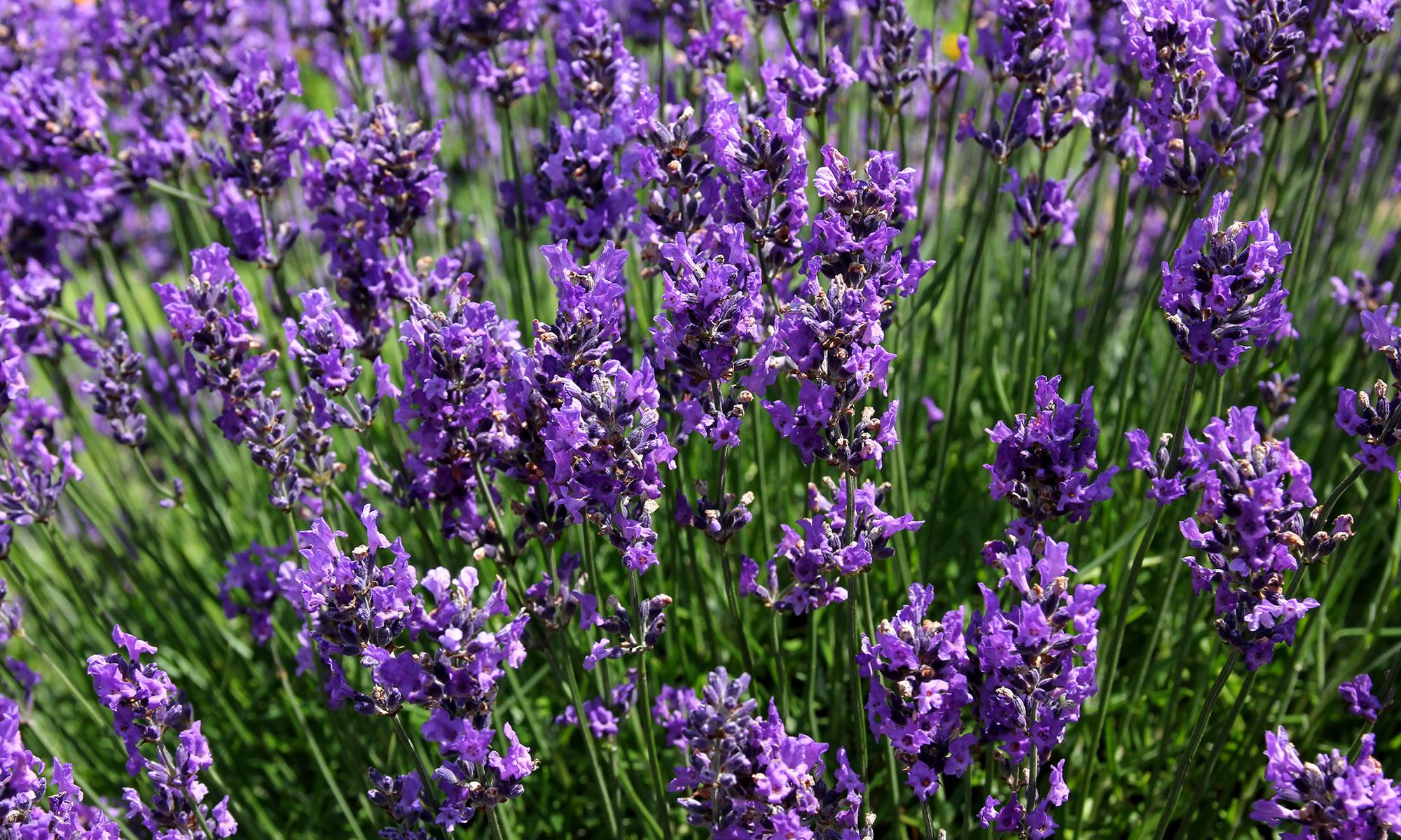 Le jardin parque de lavanda gramado rs for Jardines de lavanda