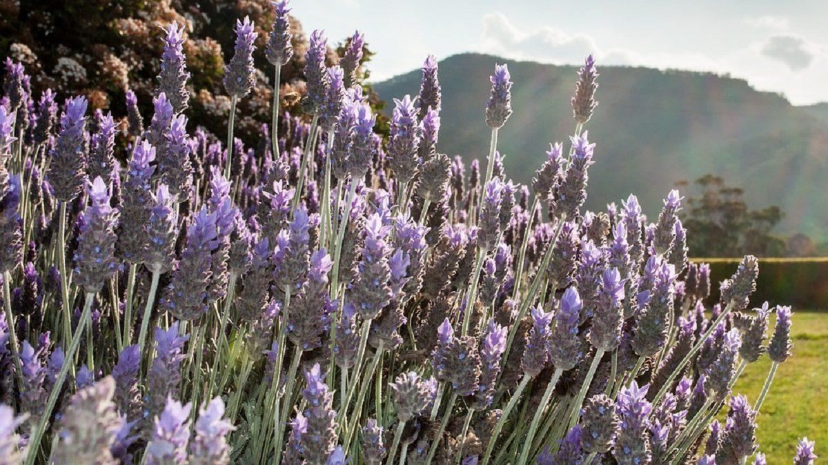 Como cultivar a Lavanda para mantla sempre linda e perfumada