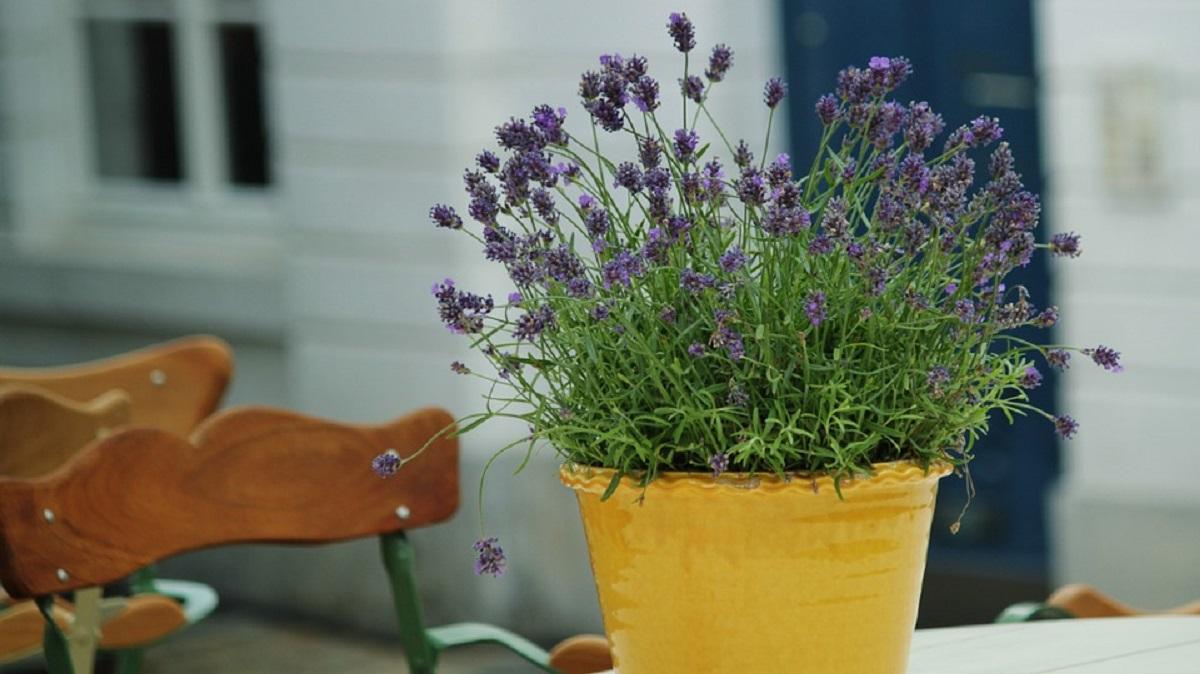 Como cultivar a lavanda para mant la sempre linda e perfumada for Lavanda coltivazione in vaso